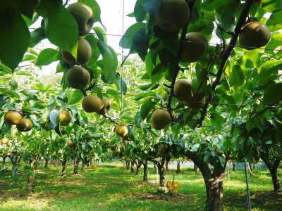 熊本梨 令和3年度の初出荷!まずはこだわりの樹上完熟梨『幸水』を朝採り即日発送でお届けします!_a0254656_18172083.jpg