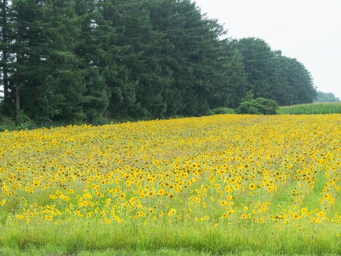 夏らしい風景~カラマツ防風林沿いのひまわり畑~_f0276498_22182811.jpg