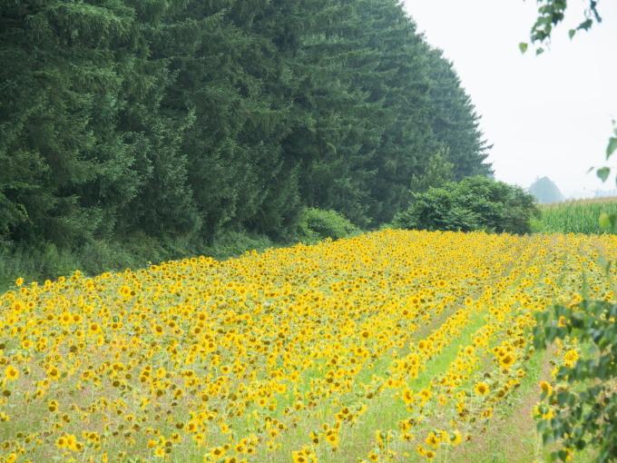 夏らしい風景~カラマツ防風林沿いのひまわり畑~_f0276498_22184049.jpg