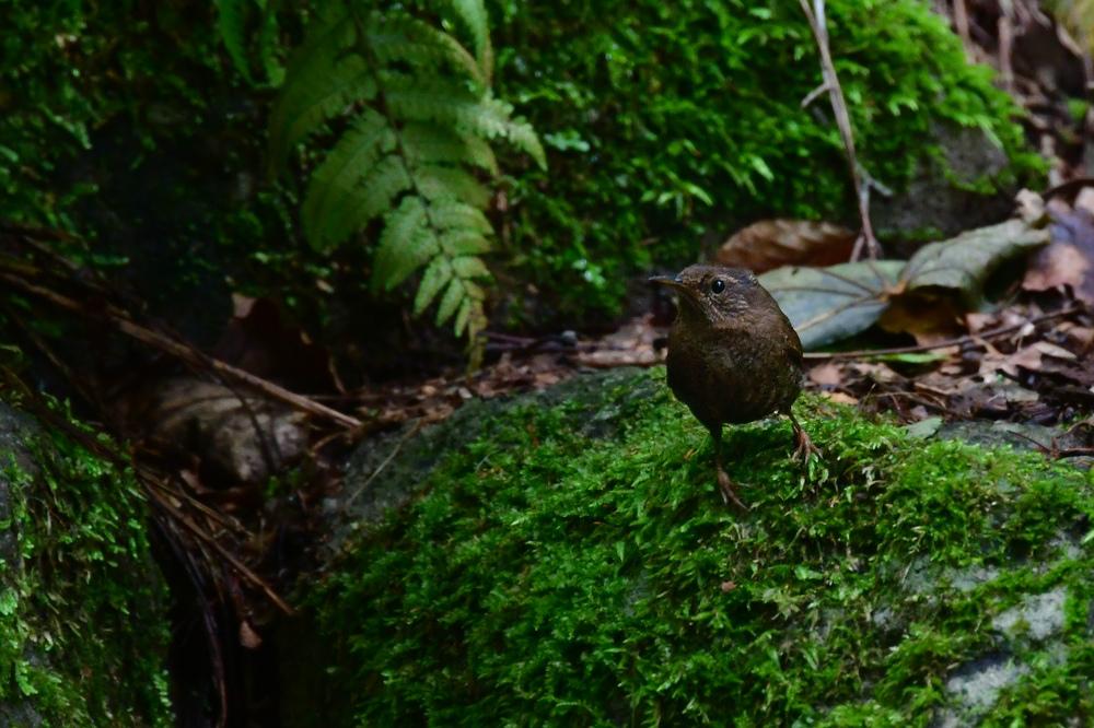 苔の森......ミソサザイ_f0400360_16231232.jpg