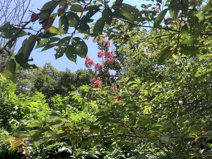 むくげ 百日紅が 咲いている_e0271579_21293330.jpeg