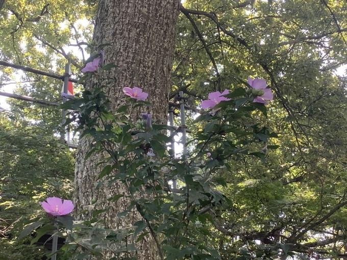 むくげ 百日紅が 咲いている_e0271579_21294268.jpeg