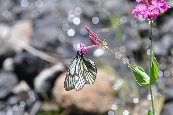 長野県の高山蝶(2021年7月中旬)_c0049095_18551603.jpg