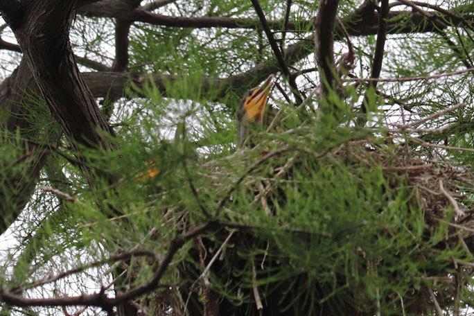 カワウの営巣と美しき井の頭池(井の頭自然文化園 June 2020)_b0355317_15365170.jpg
