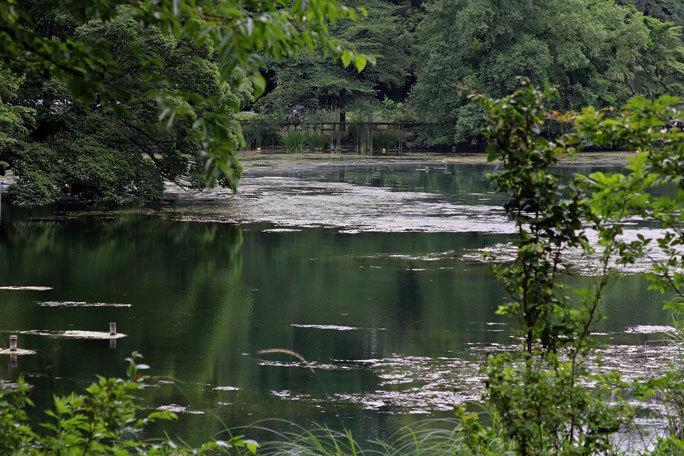 カワウの営巣と美しき井の頭池(井の頭自然文化園 June 2020)_b0355317_15465873.jpg