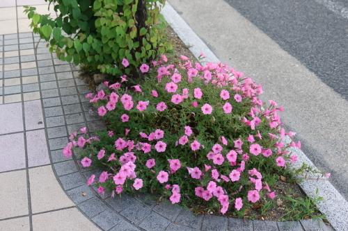 朝の散歩 2021.8.2 快晴_c0075701_06451973.jpg