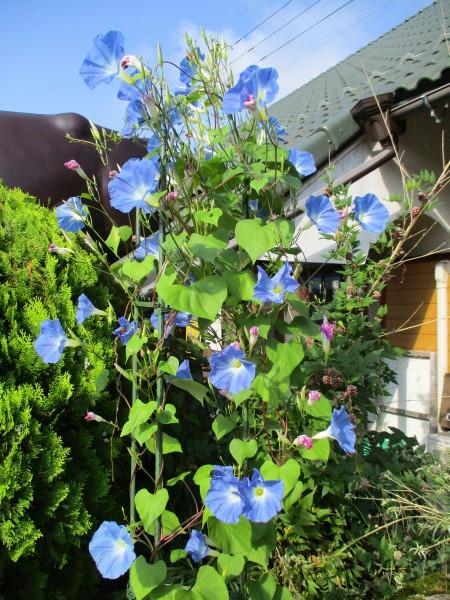 朝顔がよく咲いています。_c0194003_14171045.jpg