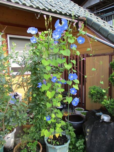 朝顔がよく咲いています。_c0194003_14215288.jpg