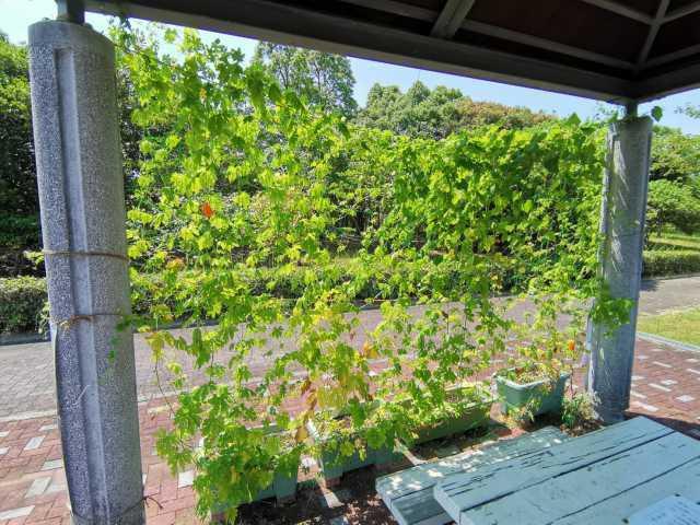 緑のカーテン(ゴーヤ・アサガオ)栽培実験R3.7.26_d0338682_14092566.jpg