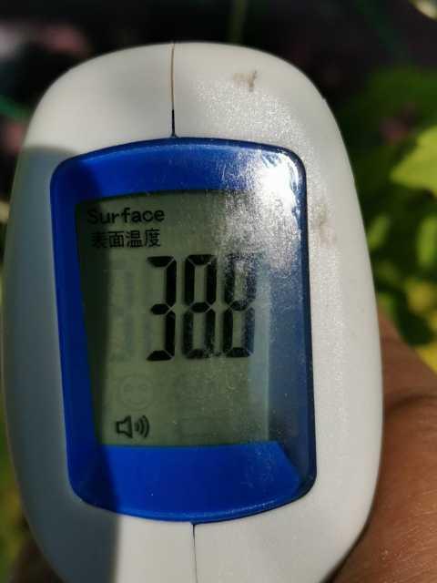 緑のカーテン(ゴーヤ・アサガオ)栽培実験R3.7.26_d0338682_14252493.jpg