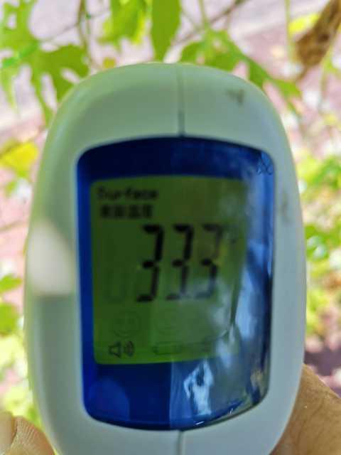 緑のカーテン(ゴーヤ・アサガオ)栽培実験R3.7.26_d0338682_14265353.jpg