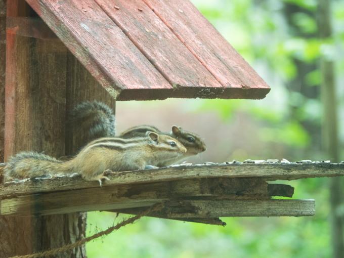 暑い日の癒しは・・2匹で仲良くお食事?エゾシマリスさん!_f0276498_22044214.jpg