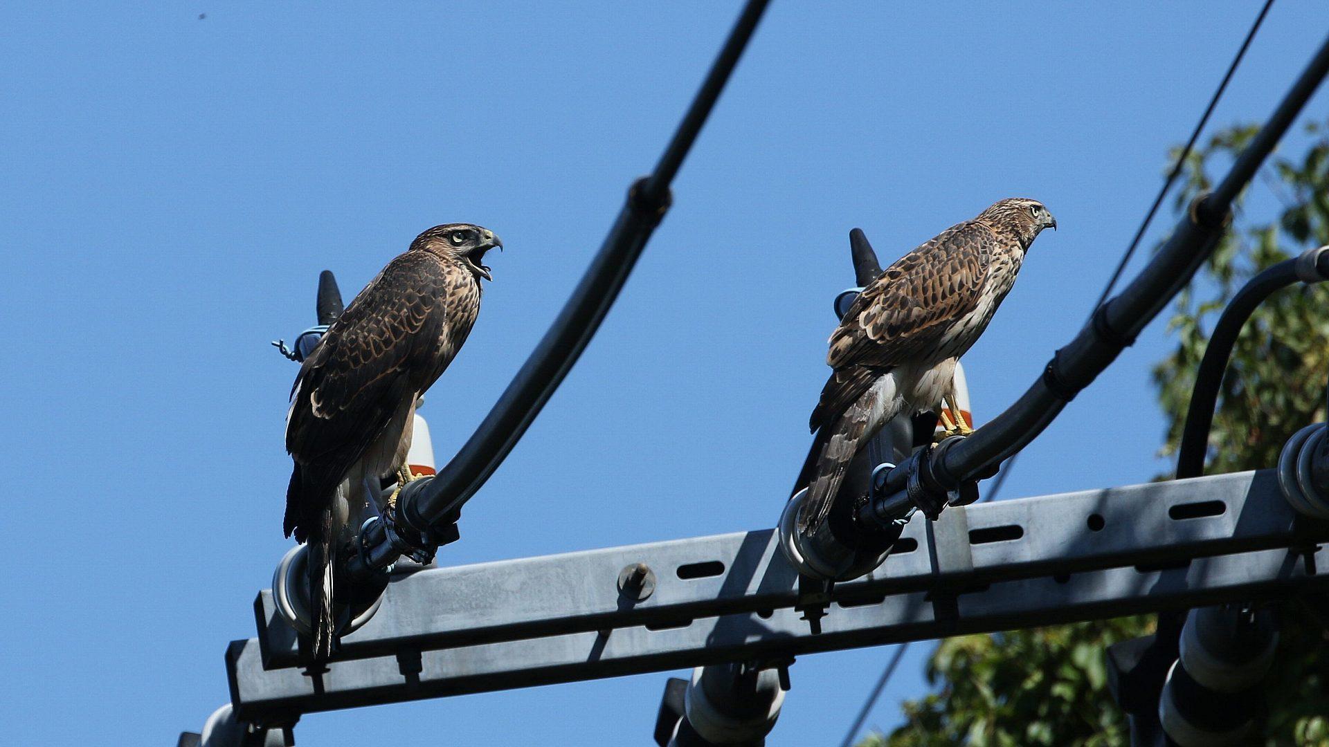 都会のオオタカ兄弟は子供の時から電線が好き?_f0105570_21320128.jpg