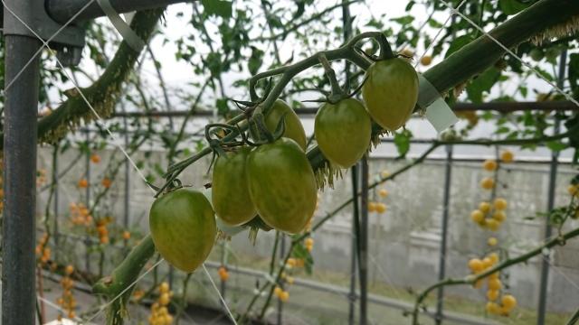 トマトの名産地!日南町でプチトマトに舌鼓♪_f0007926_16291922.jpg