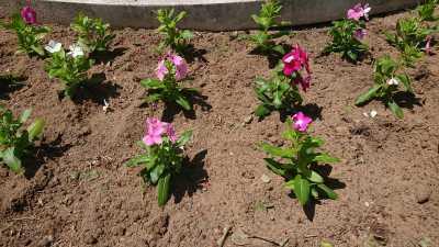 名古屋港水族館前花壇の植栽R3.8.4_d0338682_09481800.jpg