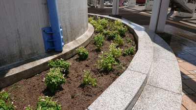 名古屋港水族館前花壇の植栽R3.8.4_d0338682_09520255.jpg