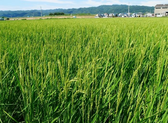 田園風景  2021-08-15 00:00   _b0093754_16570538.jpg