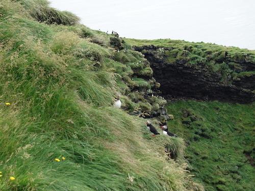 パフィンを楽しんだウエストマン諸島のヘイマエイ島_c0003620_00461886.jpg