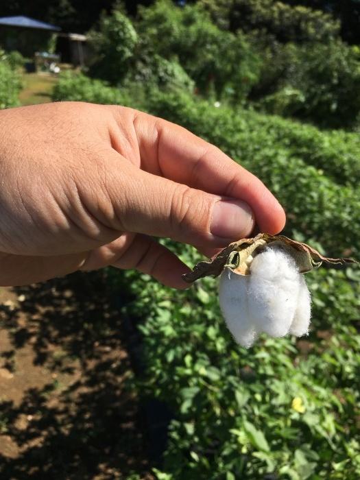 和棉 2021 最初の収穫_b0242264_15582605.jpg