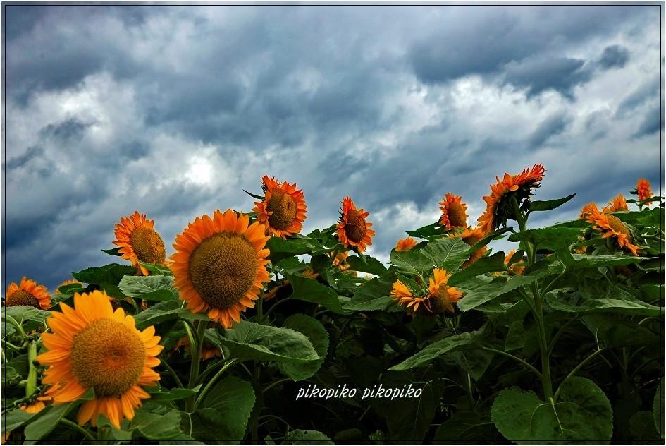 夏の終わりの向日葵_e0353681_23514741.jpg