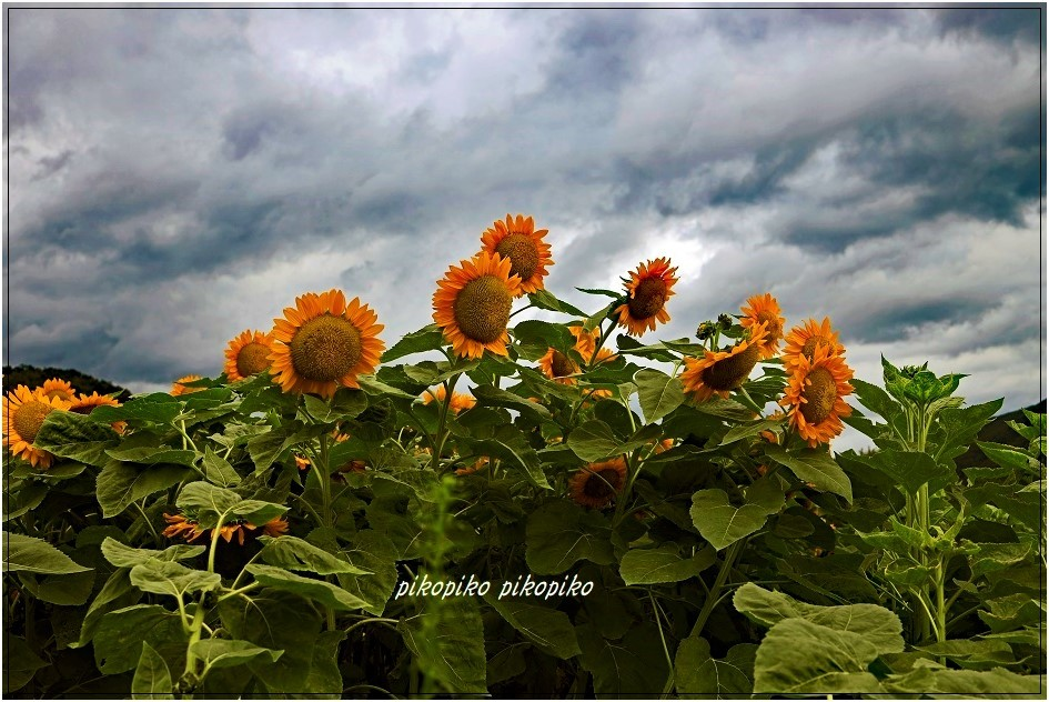 夏の終わりの向日葵_e0353681_23520060.jpg