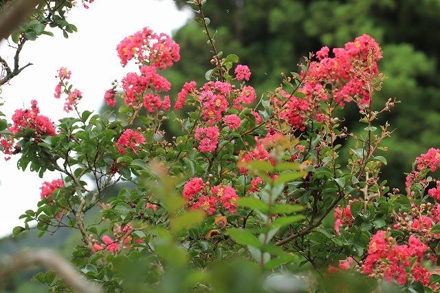 咲き誇る百日紅(その2)(撮影:8月23日)_e0321325_13593734.jpg