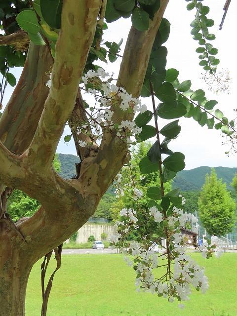 大白公園散策(その2)(撮影:8月23日)_e0321325_14315774.jpg