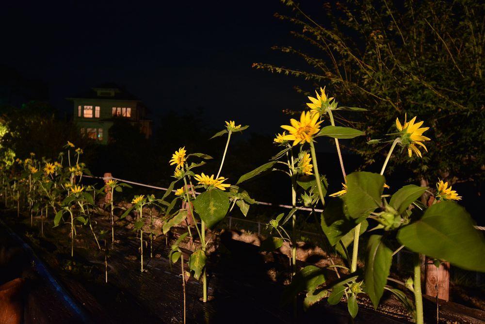 夜のヒマワリ_e0373930_20582629.jpg