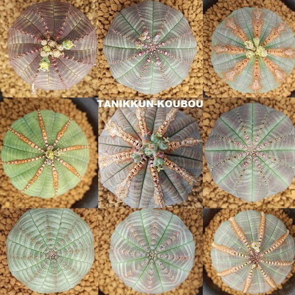 Euphorbia obesa ユーフォルビア・オベサ_a0171939_01575026.jpg