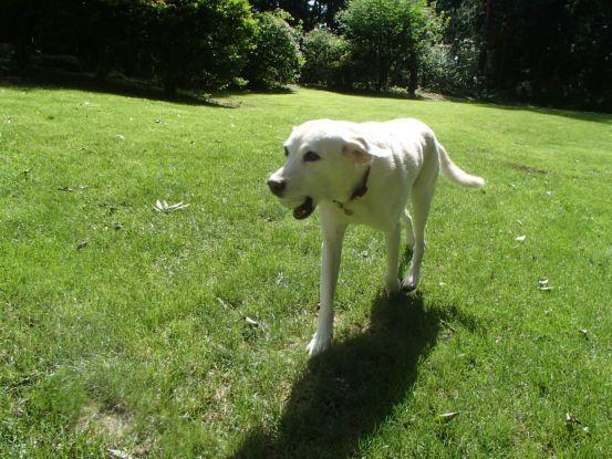 12歳にしてボール遊びを覚えた元盲導犬_f0064906_12132130.jpg