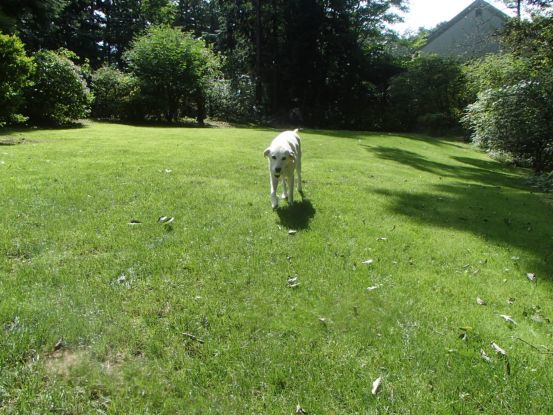 12歳にしてボール遊びを覚えた元盲導犬_f0064906_12132508.jpg
