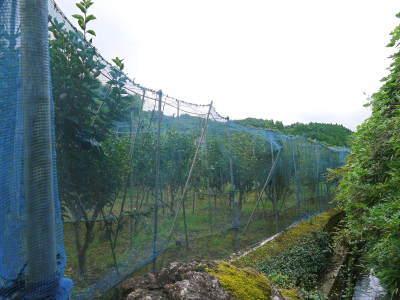 太秋柿 古川果樹園 元気に成長中!今年も摘果作業と枝つり作業で至高の太秋柿を育てます! _a0254656_19005214.jpg