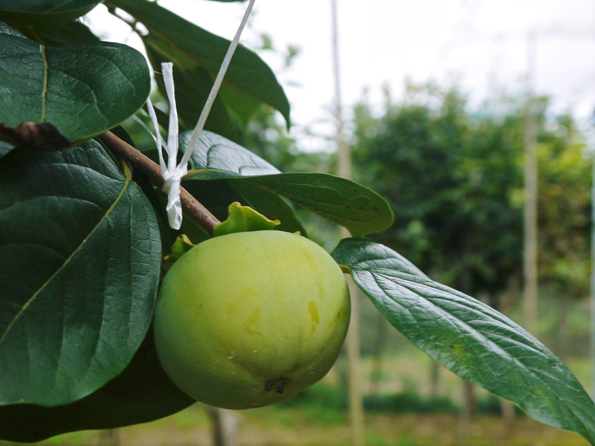 太秋柿 古川果樹園 元気に成長中!今年も摘果作業と枝つり作業で至高の太秋柿を育てます! _a0254656_19061529.jpg