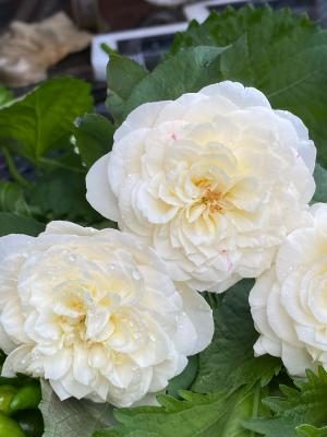 白バラを_c0198321_00055063.jpg