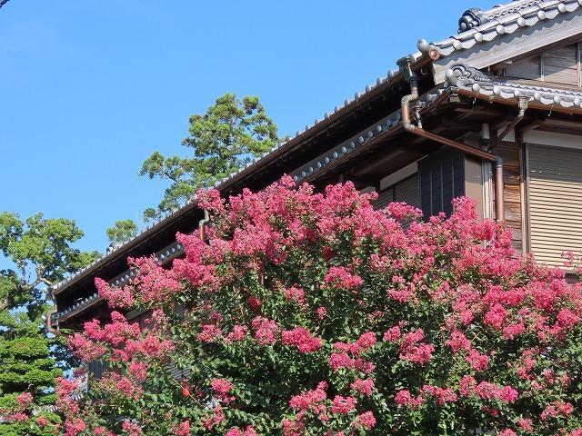 金剛寺の百日紅の花_e0321325_14355345.jpg