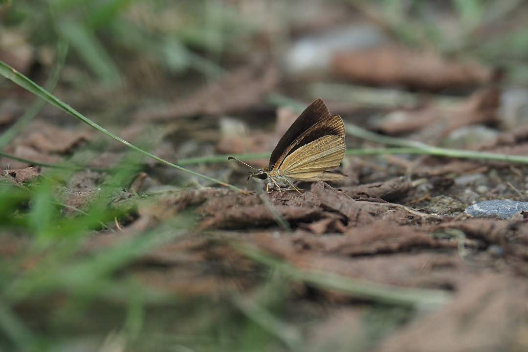ORAGA里山のCompadre,ギンイチモンジセセリ(2021/08/Late)_d0387460_11551690.jpg