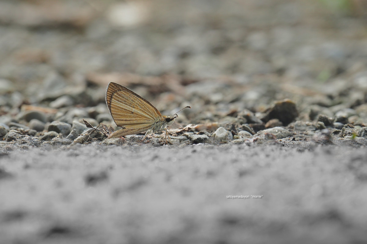 ORAGA里山のCompadre,ギンイチモンジセセリ(2021/08/Late)_d0387460_11554176.jpg