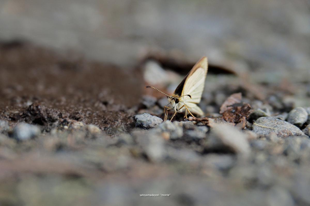 ORAGA里山のCompadre,ギンイチモンジセセリ(2021/08/Late)_d0387460_11554937.jpg