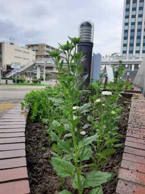 ガーデンふ頭総合案内所前花壇の植替えR3.8.23_d0338682_10010461.jpg