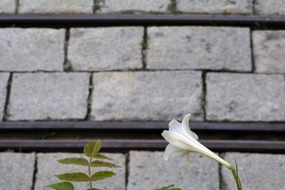 京都市電名古屋電停付近のシロユリ_e0373930_19261169.jpg