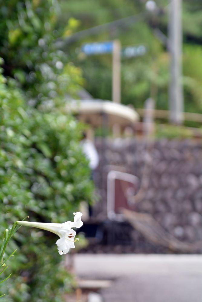 京都市電名古屋電停付近のシロユリ_e0373930_19261287.jpg
