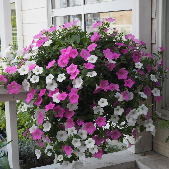 ランドスケープペチュニアの鉢植え_f0400078_10172947.jpg