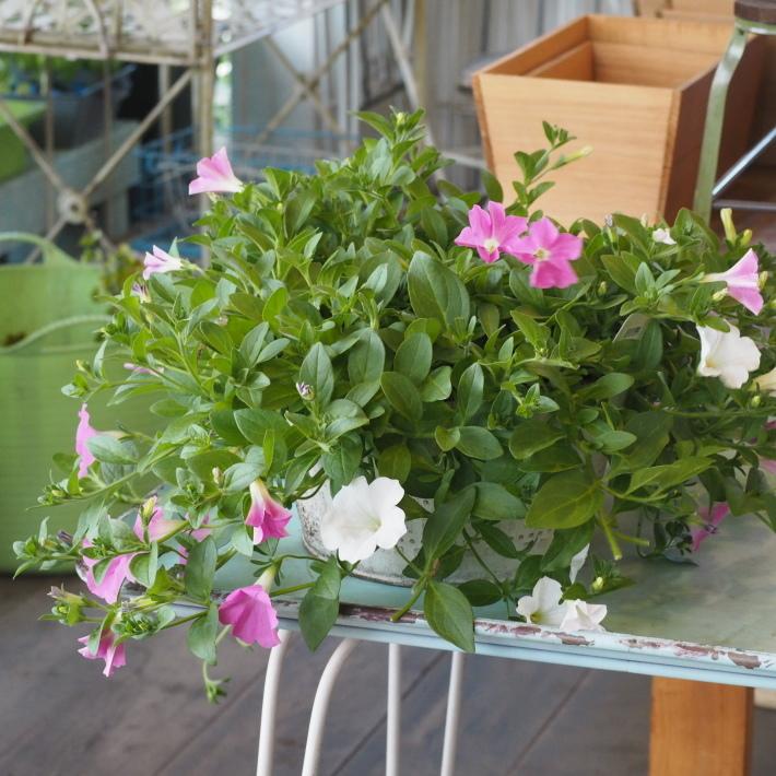ランドスケープペチュニアの鉢植え_f0400078_10201137.jpg