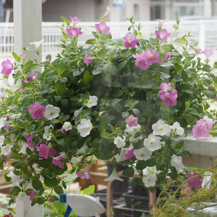 ランドスケープペチュニアの鉢植え_f0400078_10211883.jpg