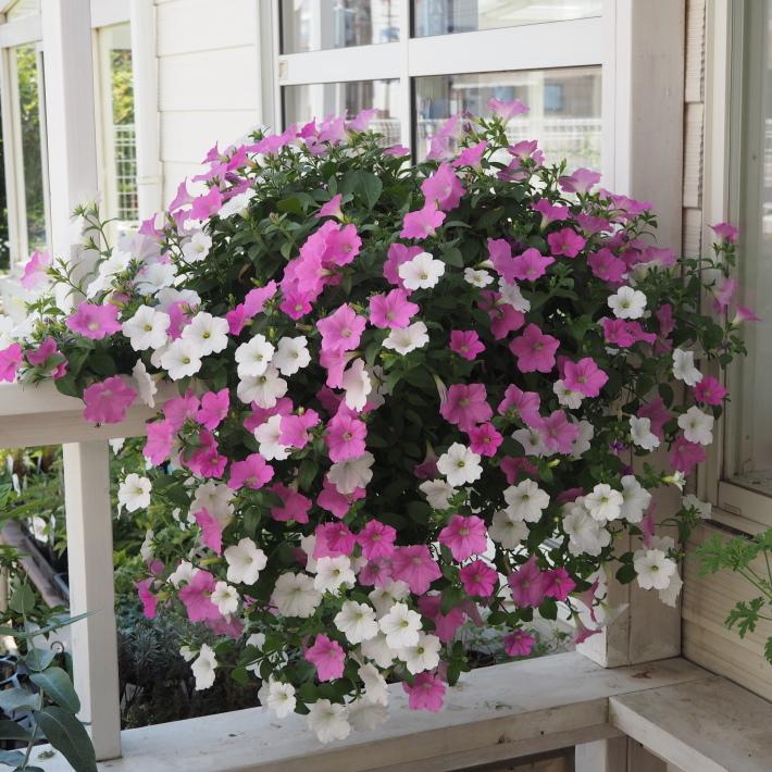 ランドスケープペチュニアの鉢植え_f0400078_14561098.jpg