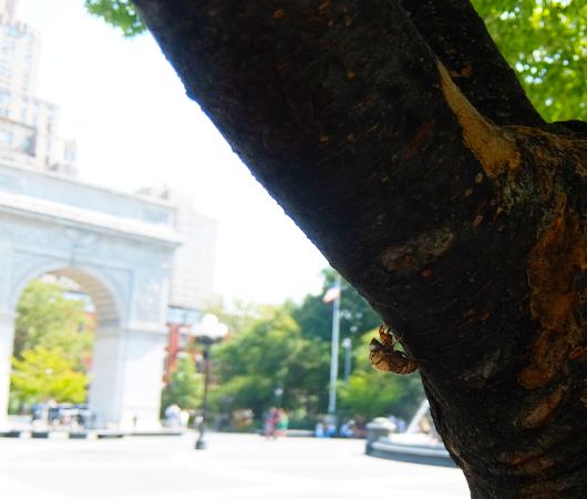 NYで蝉(セミ、英語ではシケーダ)の抜け殻に、ふと思ったこと_b0007805_02422732.jpg