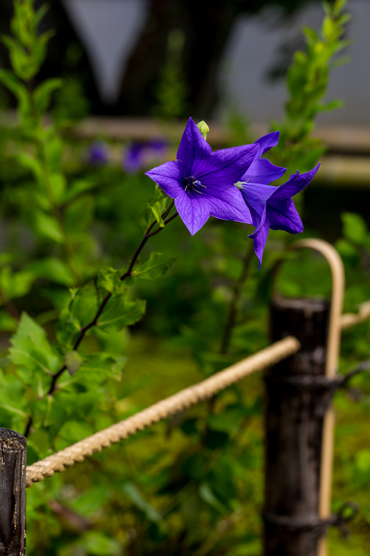 禅居庵の桔梗たち_f0155048_23085011.jpg