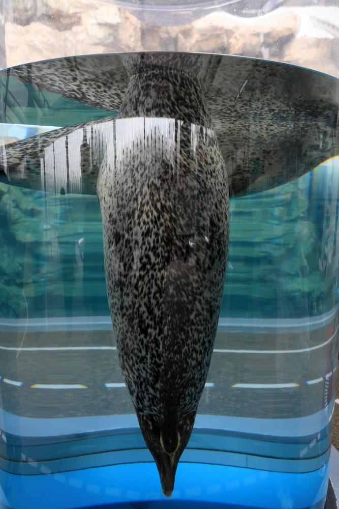 京都水族館 その3 アザラシ_b0325840_22503684.jpg