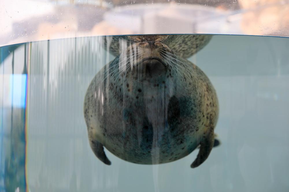 京都水族館 その3 アザラシ_b0325840_22510578.jpg