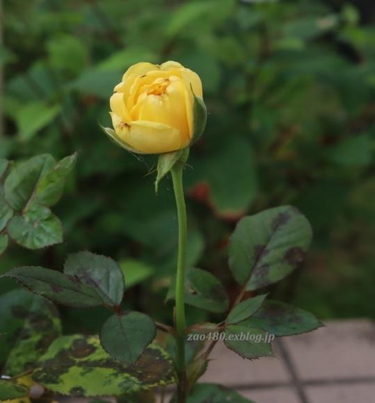 秋バラとアゲハの幼虫_a0304423_23385923.jpg